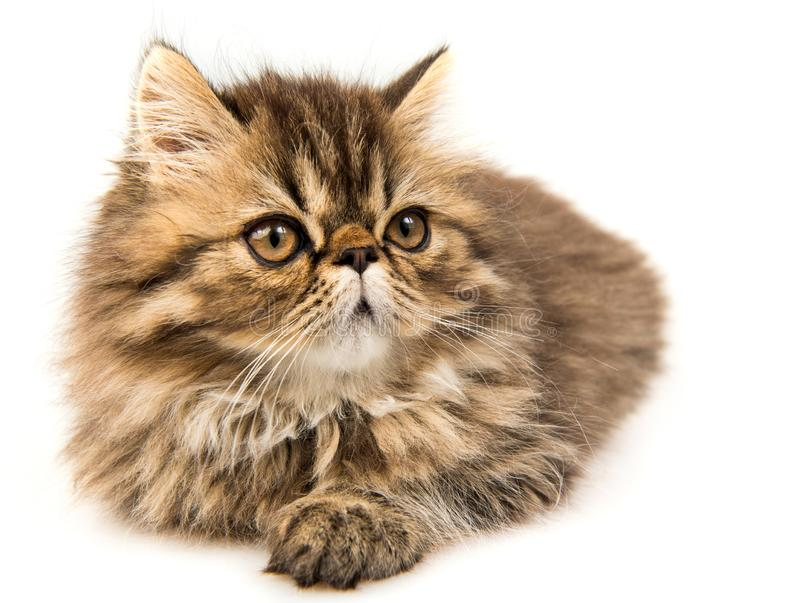 Beautiful Persian kitten cat marble color coat. Three weeks old royalty free stock photography
