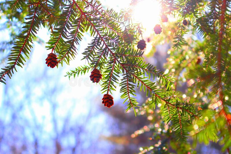 Beautiful Perspective on Pine Tree! royalty free stock photos