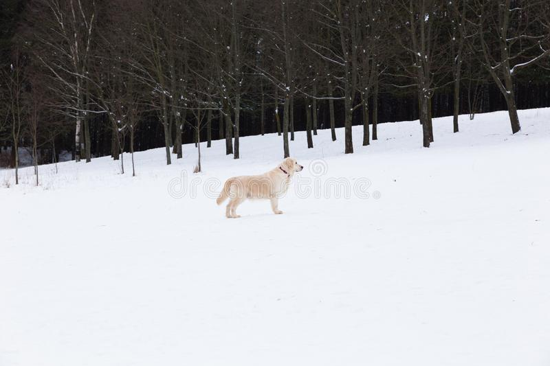 Beautiful pets - portrait of a big golden retriever on a winter walk near a snow-covered forest stock image