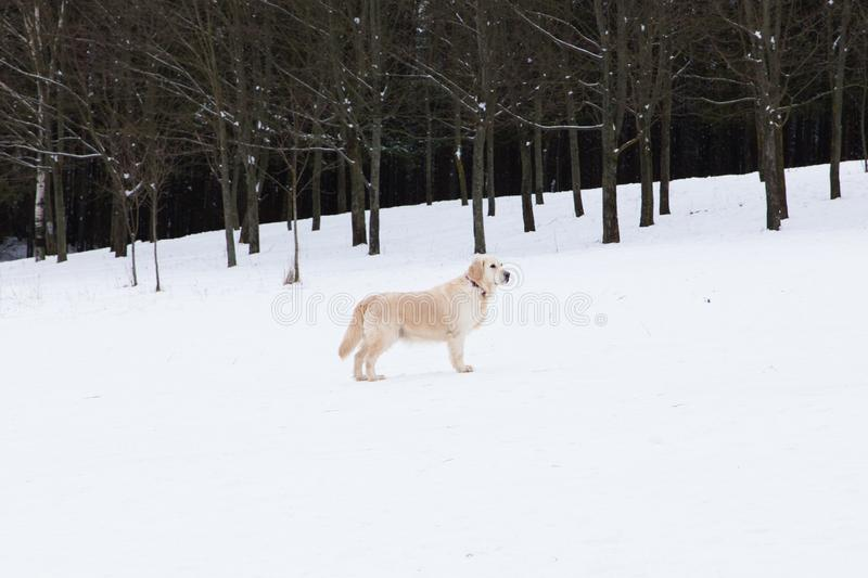 Beautiful pets - portrait of a big golden retriever on a winter walk near a snow-covered forest stock images