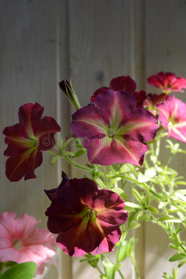 Beautiful petunia flowers on the background of wooden wall. Balcony greening with blooming plants.  royalty free stock image