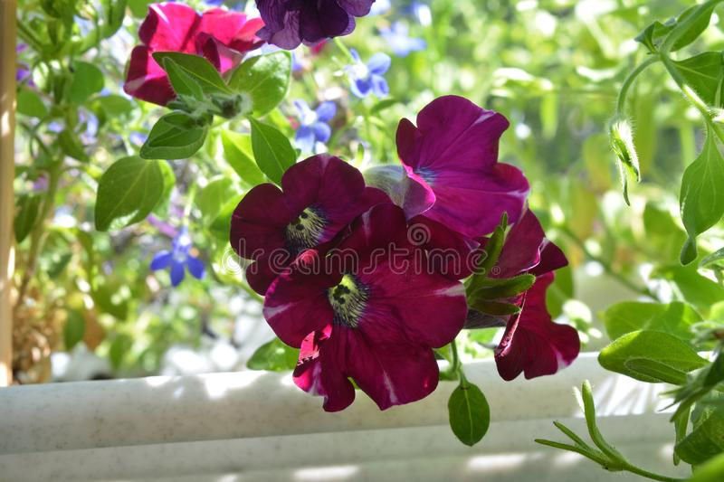 Beautiful petunia flowers. Balcony greening with blooming plants. Summer day.  royalty free stock image