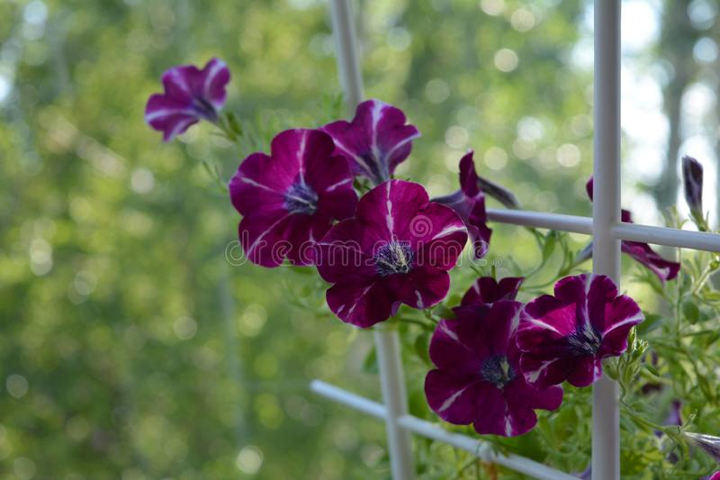 Beautiful petunia flowers on blurred green background. Balcony greening by unpretentious blooming plants.  stock image