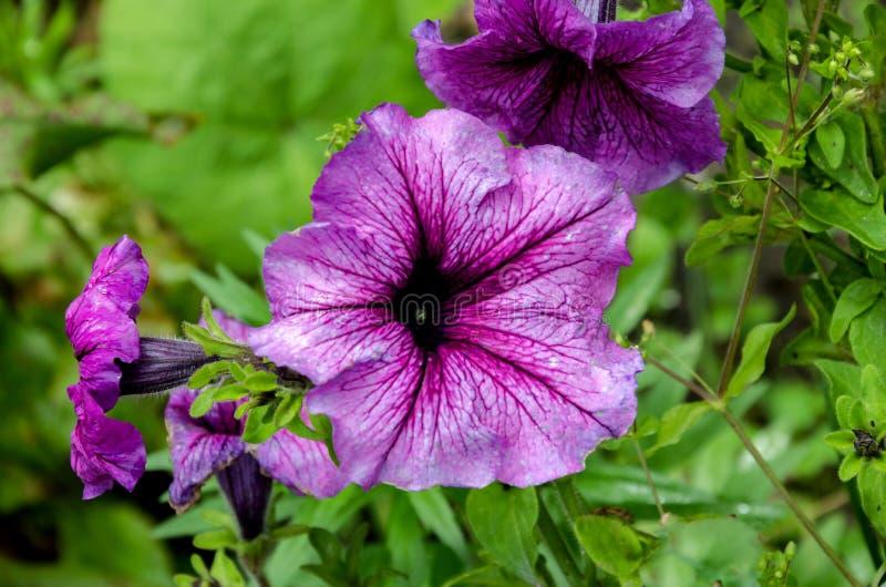 Beautiful petunia flowers stock photo