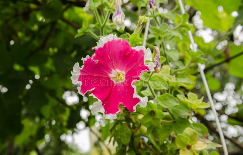 Beautiful petunia flowers. Summer garden beautiful bush blooming red petunias with green leaves royalty free stock photo