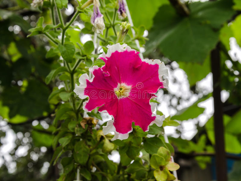 Beautiful petunia flowers. Summer garden beautiful bush blooming red petunias with green leaves royalty free stock images