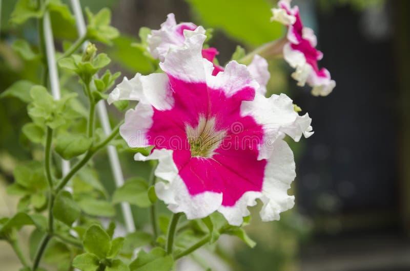 Beautiful petunia flowers. Summer garden beautiful bush blooming red petunias with green leaves stock photo