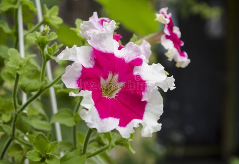 Beautiful petunia flowers. Summer garden beautiful bush blooming red petunias with green leaves royalty free stock image