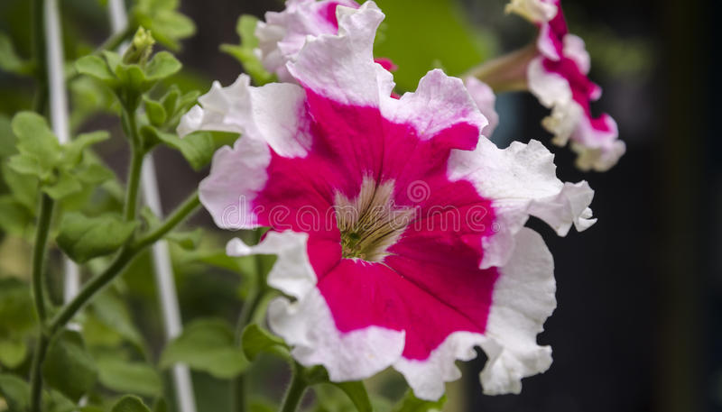 Beautiful petunia flowers. Summer garden beautiful bush blooming red petunias with green leaves royalty free stock photos