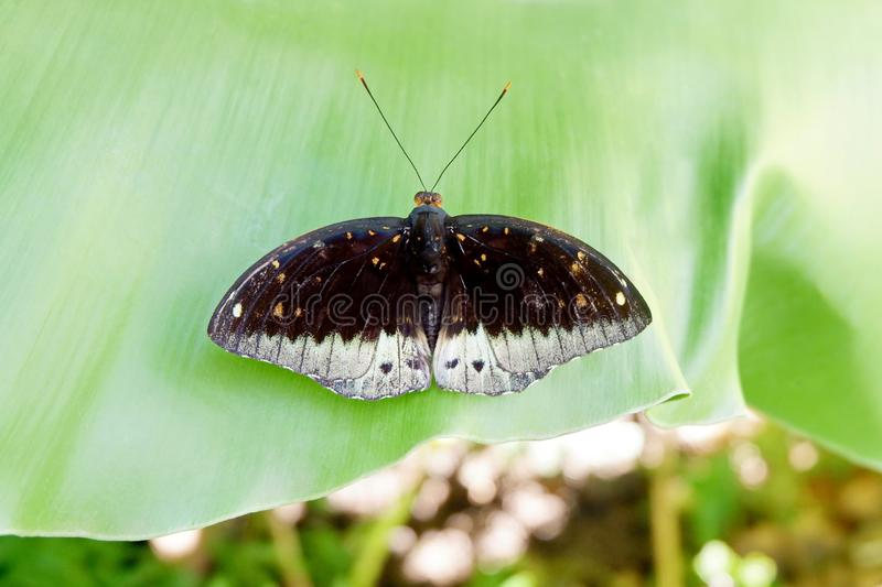 Asian Black and White Butterfly stock photography