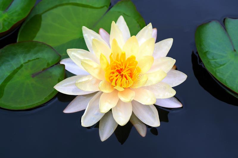 Beautiful Photo of Blooming White Waterlily Flower royalty free stock photography