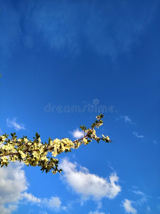 Branch with Apple flowers on the background of blue sky with white clouds stock images