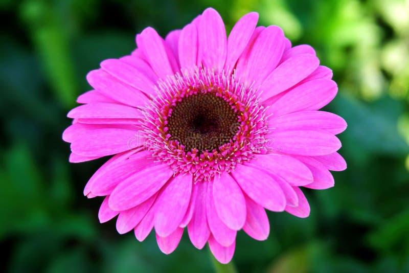 Sweet Pink Gerbera Daisy Flower royalty free stock image