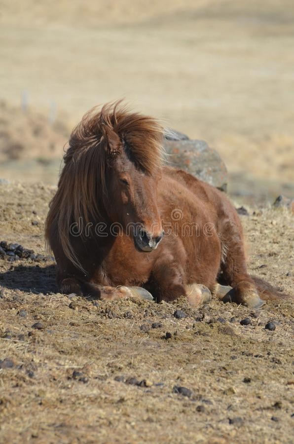 Beautiful photo of a brown Icelandic Horse laying down royalty free stock image