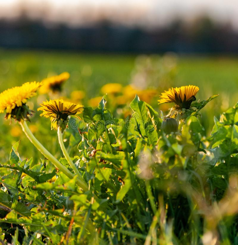 Beautiful photo of dandelions at sunset stock photos