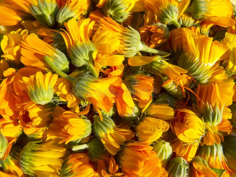 Beautiful photo with flowers calendula. royalty free stock images