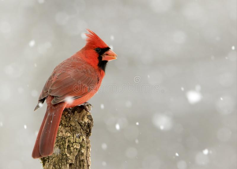 Male Northern Cardinal Cardinalis cardinalis perched in a snow storm. Beautiful photo of a male Northern Cardinal Cardinalis cardinalis standing on a perch royalty free stock photo