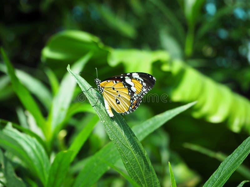 Beautiful Orange Monarch Butterfly Sitting on the Green Leaf. Beautiful Photo of Orange Monarch Butterfly Sitting on the Green Leaf stock images