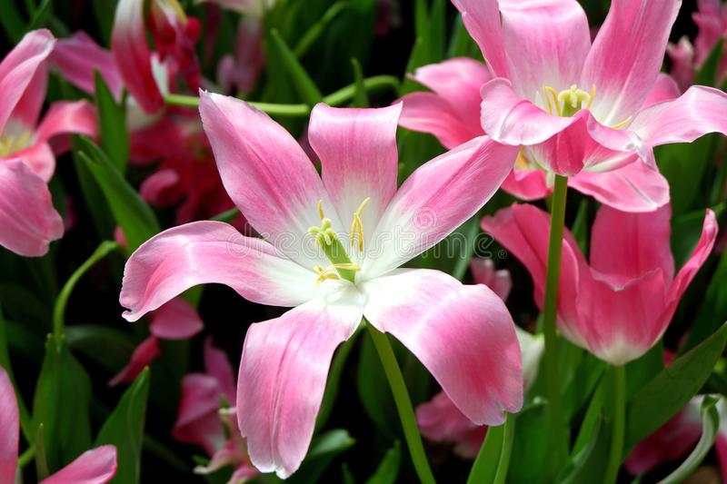 Lovely Blooming Pink Lily Flowers royalty free stock images