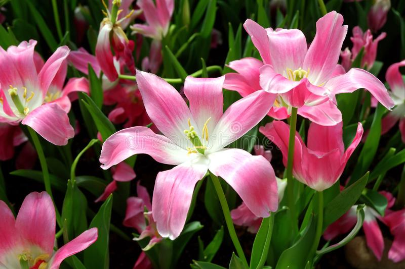 Lovely Blooming Pink Lily Flowers stock images