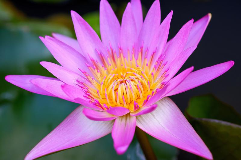 Beautiful Photo of Blooming Pink / Purple Waterlily Flower royalty free stock photography