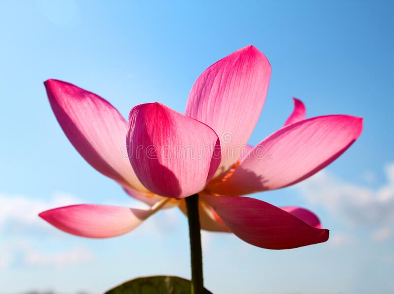 Beautiful photo with pink wonderful lotuses royalty free stock photography