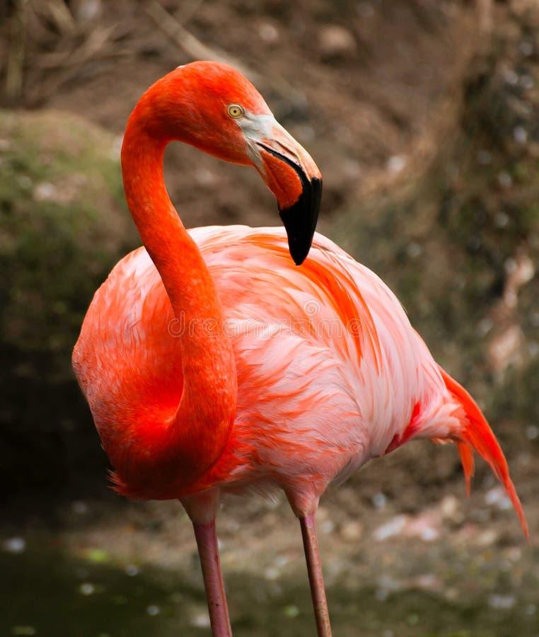 Photo red flamingo. Beautiful photo of red flamingo royalty free stock photography