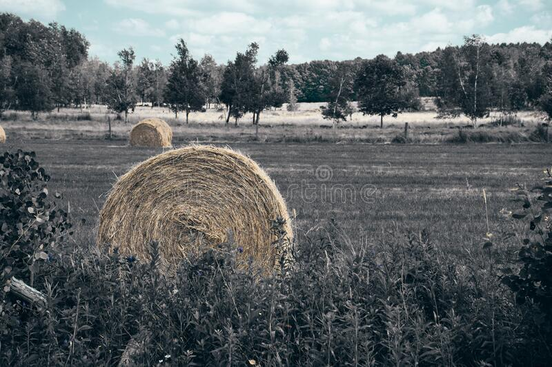 Hay bales in a field. Beautiful photo of rural countryside, these hay bales will be used as food for animals this winter. Durham, Quebec, Canada; July 13, 2019 royalty free stock photography