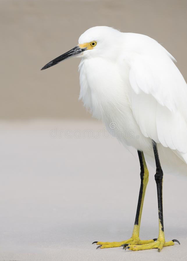 Snowy Egret Egretta thuls standing on a sea wall on the Gulf of Mexico. royalty free stock photos