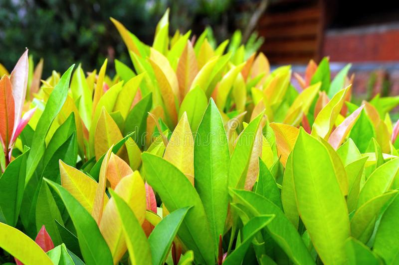 Beautiful Tropical Garden Plants with Colorful Leaves stock photo