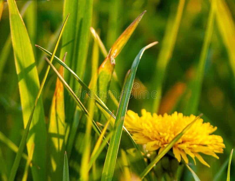 Beautiful photo of yellow dandelion,bokeh. royalty free stock photography