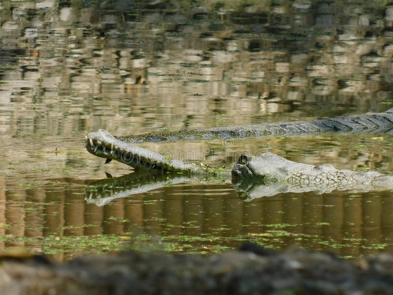 A Beautiful Photograph of a big crocodile on a river. A high resolution picture of bright and beautiful big crocodile or gavial has been doing swimming on a stock images