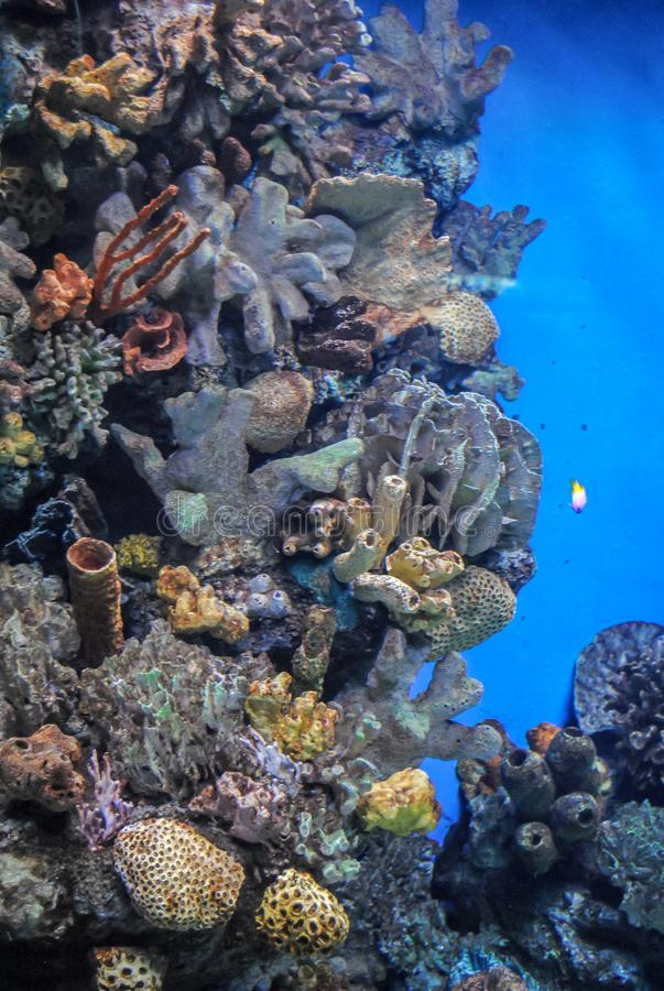 Beautiful photograph of colorful corals, algae aquatic plants and fishes in the Barcelona Oceanarium. Wild nature background. The royalty free stock photo