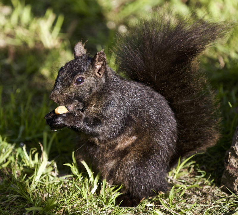 Beautiful picture with a black squirrel. Beautiful isolated photo of a black squirrel royalty free stock image