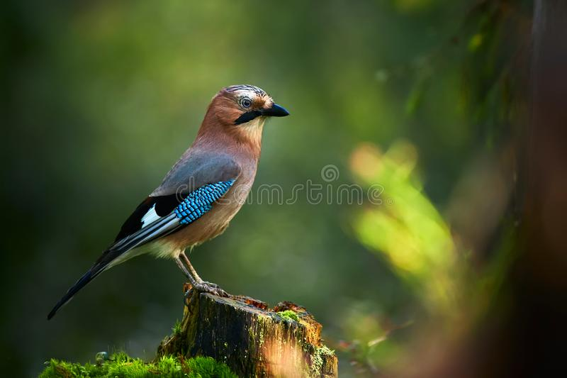 Beautiful picture the Eurasian jay Garrulus glandarius. A bird sits in a deep forest on a stump. stock image