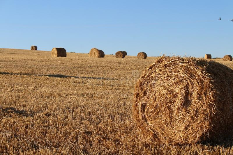 Beautiful picture of the field harvesting the grain royalty free stock photos