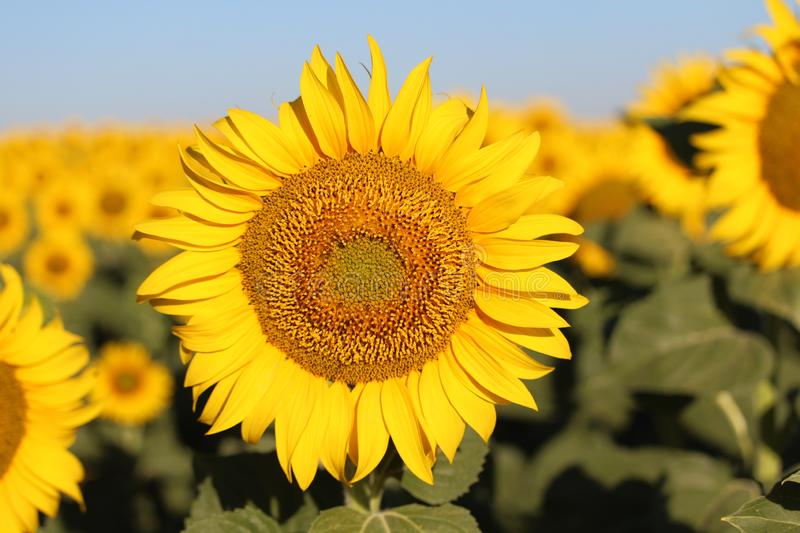 Beautiful picture of sunflowers and soaking up the sun in the field royalty free stock images