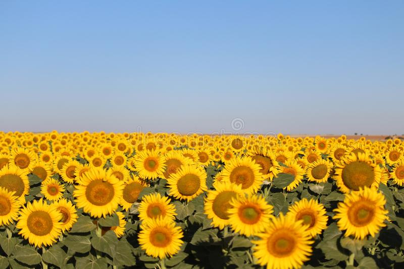 Beautiful picture of sunflowers and soaking up the sun in the field stock photos