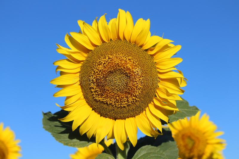 Beautiful picture of sunflowers and soaking up the sun in the field stock photography