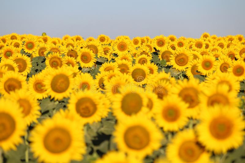 Beautiful picture of sunflowers and soaking up the sun in the field stock photo