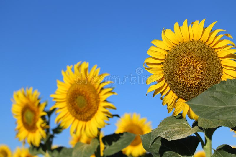 Beautiful picture of sunflowers and soaking up the sun in the field royalty free stock photo