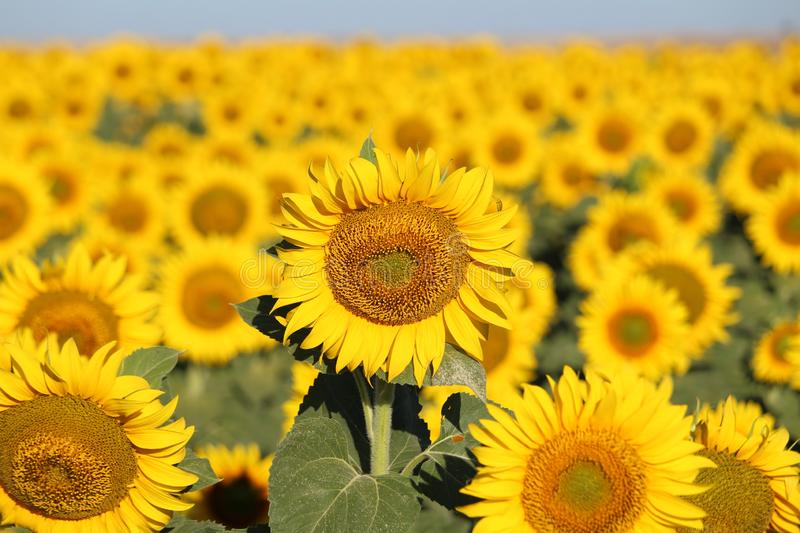Beautiful picture of sunflowers and soaking up the sun in the field stock images