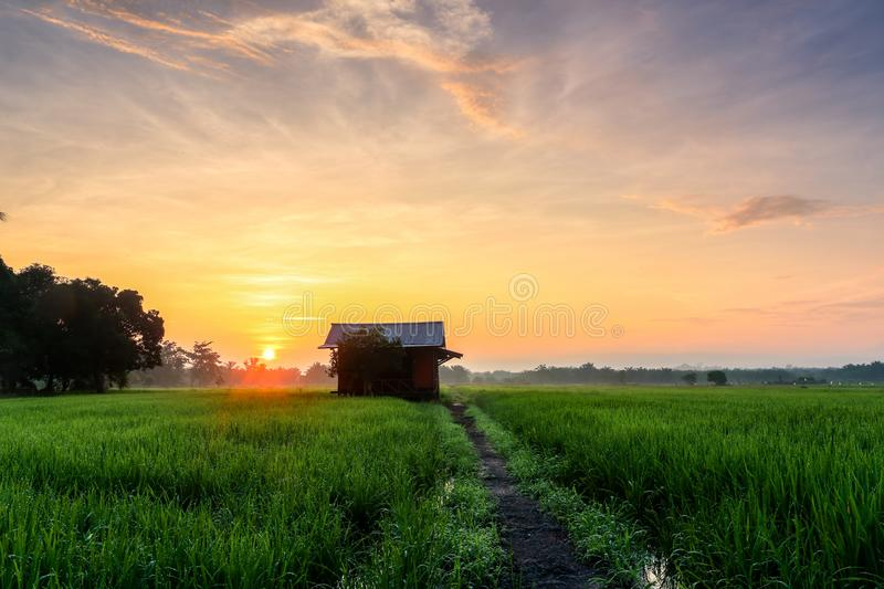 A Beautiful Picture Of Beautiful view of rice paddy field during. Sunrise in Malaysia royalty free stock photos