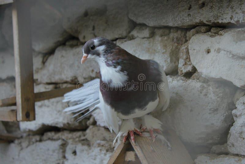 A beautiful pigeon stock photos