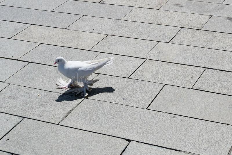 Beautiful pigeon, decorative dove. Decorative pigeons. A funny pigeon with shaggy paws walks along a city street.  stock photography
