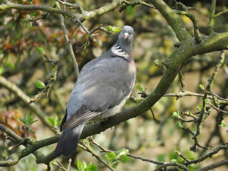 A beautiful pigeon dove culver sitting on tree branch on blue sky background. Common Wood Pigeon. A beautiful pigeon dove culver sitting on tree branch on blue stock image