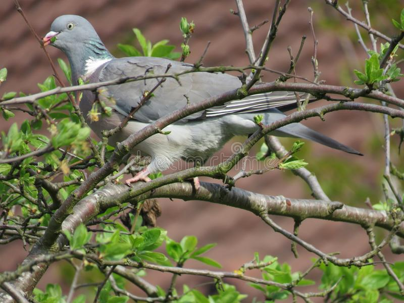 A beautiful pigeon dove culver sitting on tree branch and eating leaves. Common Wood Pigeon. stock photography