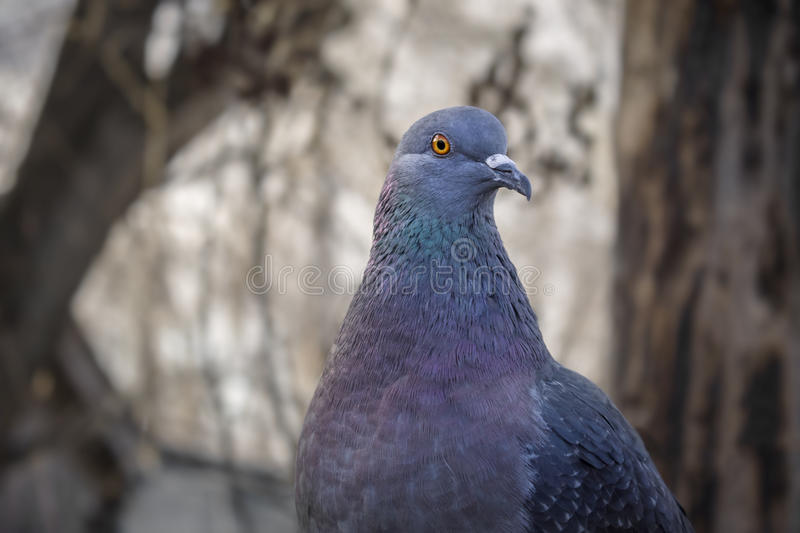 Beautiful pigeon posing stock image
