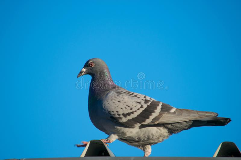 Beautiful pigeon stock images