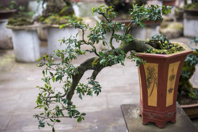 A beautiful pile head bonsai modeling royalty free stock photos